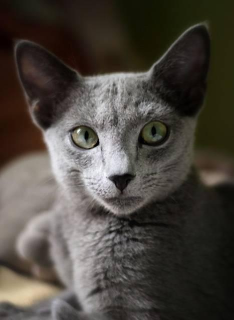 Podľa povery prináša táto mačka do domu šťastie (Foto  Pixabay) 4c1e3be9d9e
