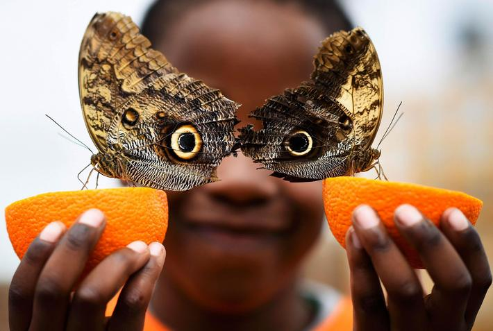 Bjorn, aged 5, smiles as he poses with a Owl butterfly during an event to launch the Sensational But
