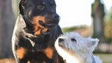 Terier zapłodnił rottweilera. Urocze zdjęcia potomstwa