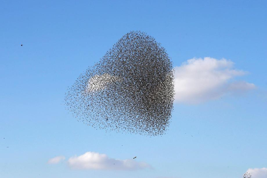 A murmuration of migrating starlings is seen across the sky near the city of Beer Sheva southern Isr