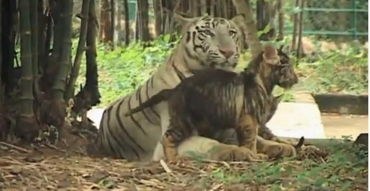 70094_beli-tigar-crni-tigric