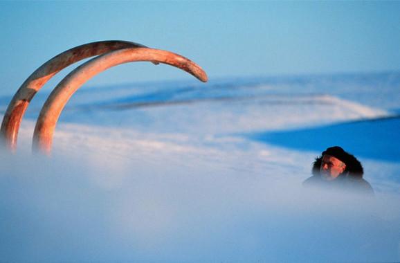 Kljova mamuta bila je dugačka skoro četiri metra