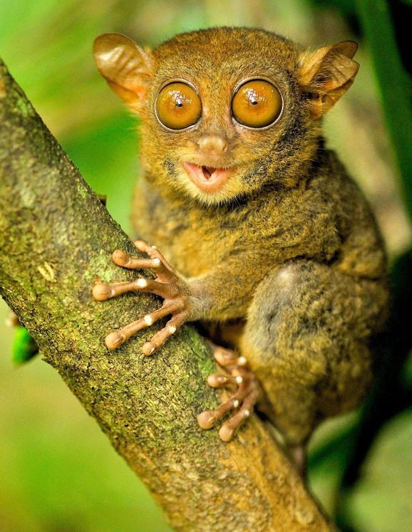 Ove životinje su poznate po svojim ogromnim očima nasuprot malecnog tela