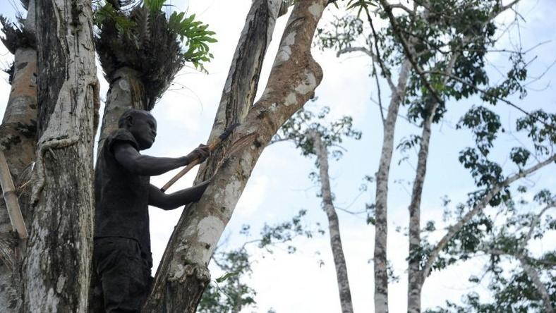 A worker cuts the bark of a rubber tree on a plantation of US company Firestone in Harbel, Liberia, on October 17, 2016