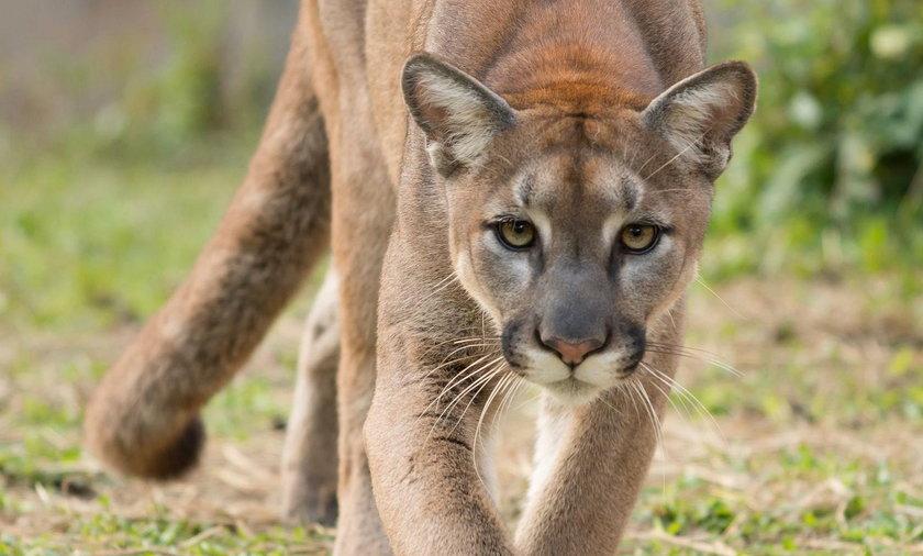 Puma grasuje pod Pszczyną? Wydano ostrzeżenie