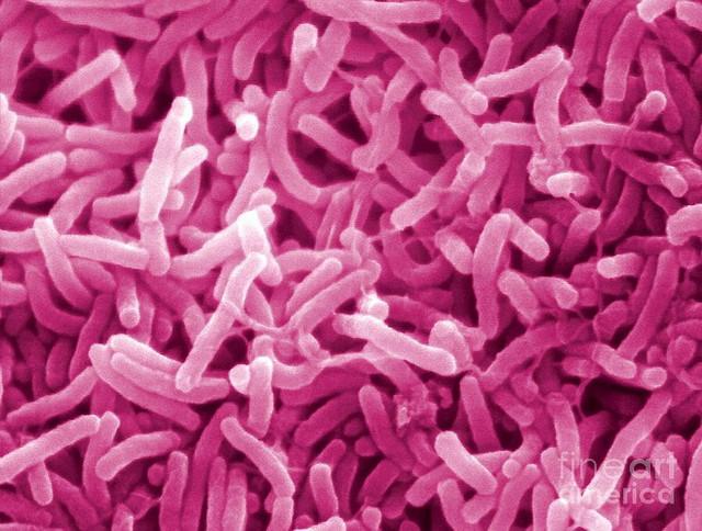 Bakterija kolere Vibrio cholerae