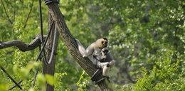Lemury wróciły na wyspę