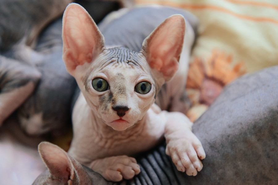 Sphynx / Getty Images / OlgaChan