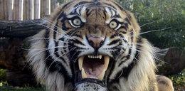 Straszą kuny tygrysimi kupami!