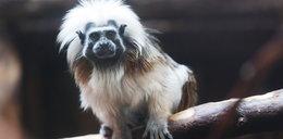 Fantastyczna małpka z Opola. Ona wygląda jak Limahl!