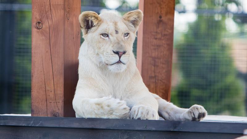 Pierwszy biały tygrys w Polsce