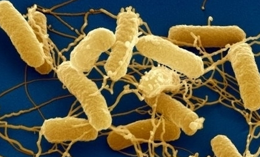 Bakterie salmonelli