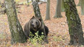Jak się zachować w przypadku spotkania z niedźwiedziem?