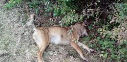 Ktoś zastrzelił wilka. Prowadzą śledztwo