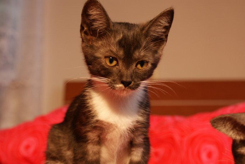 4 urocze kociaki szukają odpowiedzialnego właściciela. Do adopcji są dwie dziewczynki i dwóch chłopców. Zwierzaki są zdrowe i odrobaczone.