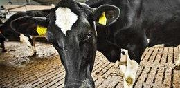 Bakteria-mutant pochodzi od krowy? A zabija, bo....
