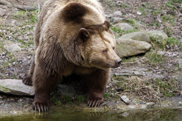 medved brown bear