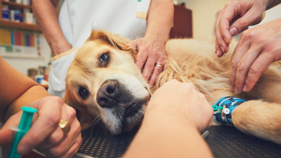 Niektóre rasy psów mają predyspozycje do osteoartrozy - Chalabala/stock.adobe.com
