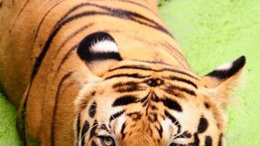 Łzy tygrysich wdów