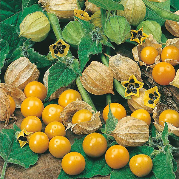 gooseberries(Mr Fothergills)