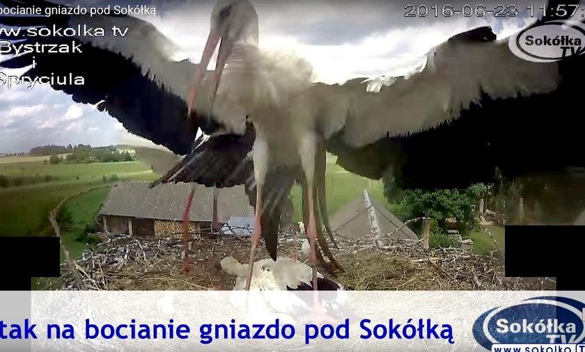 Atak na bocianie gniazdo pod Sokółką
