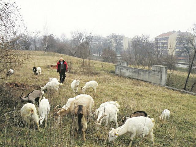 Brutalno: Dobrica Kostić sa svojim nekadašnjim stadom