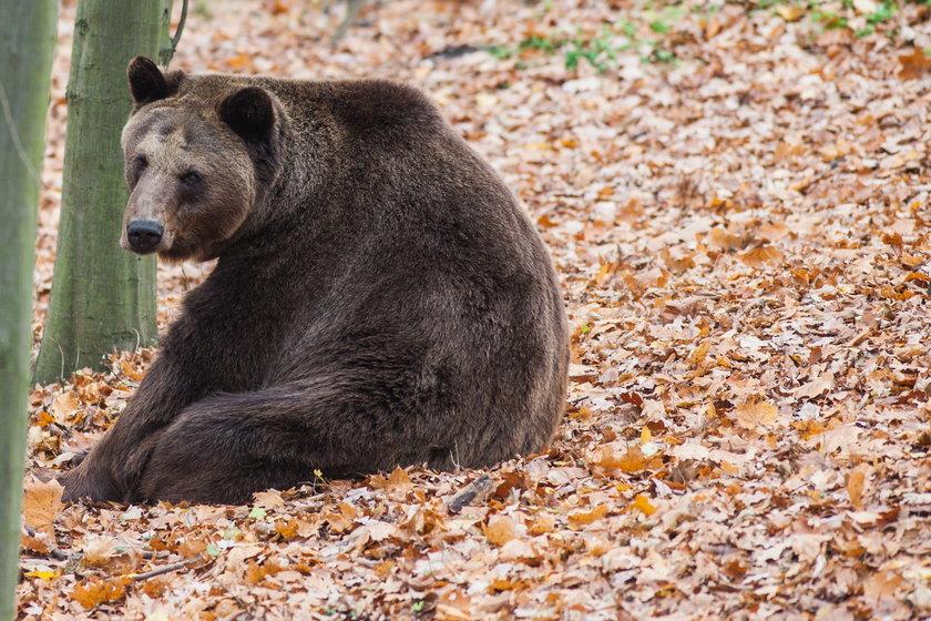 Niedźwiedź Borys (18 l.)