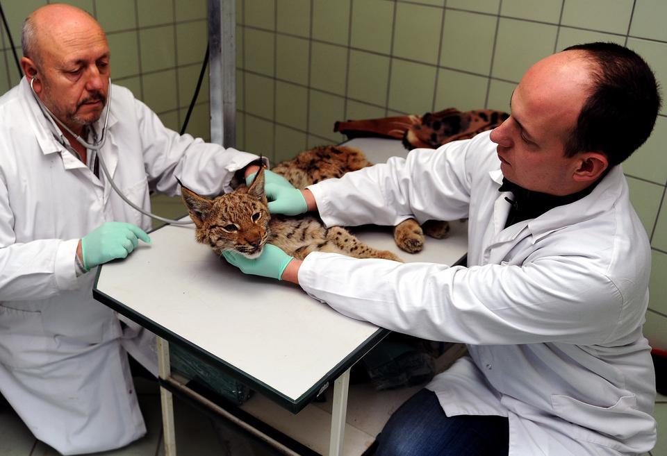 Ryś w Ośrodku Rehabilitacji Zwierząt