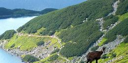 Kozice buszują po Tatrach