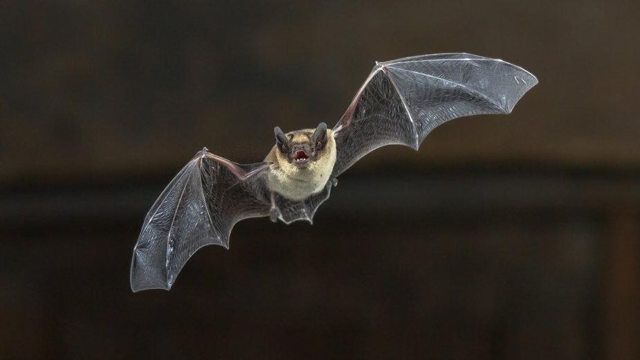 Nietoperze – wielki rezerwuar koronawirusów
