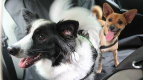 Pupil w samochodzie. Jak przewozić bezpiecznie psy?