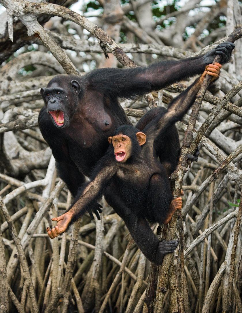 Wirus, który powoduje przeziębienie u szympansów pomógł w wynalezieniu szczepionki na koronawirusa
