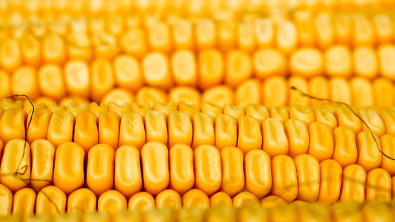 Modyfikowane geny odkryto w tradycyjnie hodowanej meksykańskiej kukurydzy