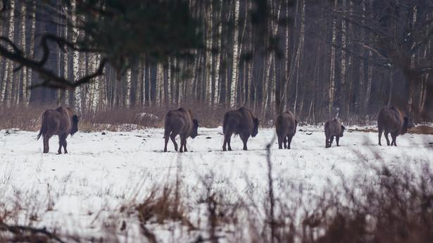Wolnościowe stado żubrów na skraju Puszczy Białowieskiej w województwie podlaskim