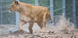 Wybieg dla lwów
