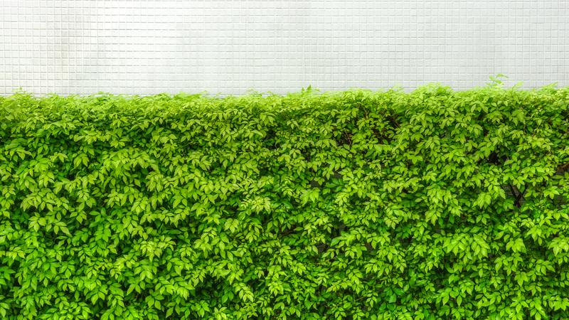 Z jakich roślin żywopłot?