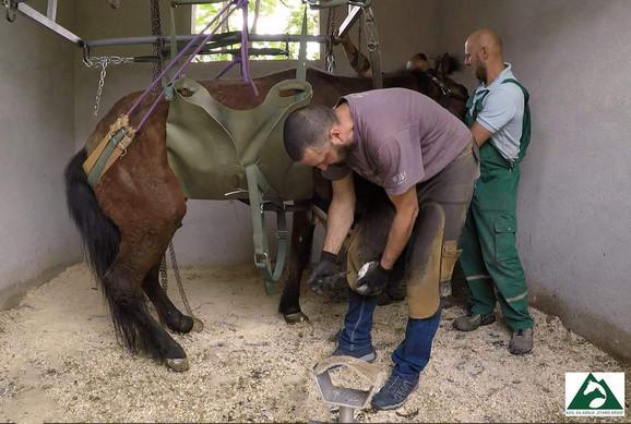 Hirurzi su morali da za leče nogu konju Sokolu