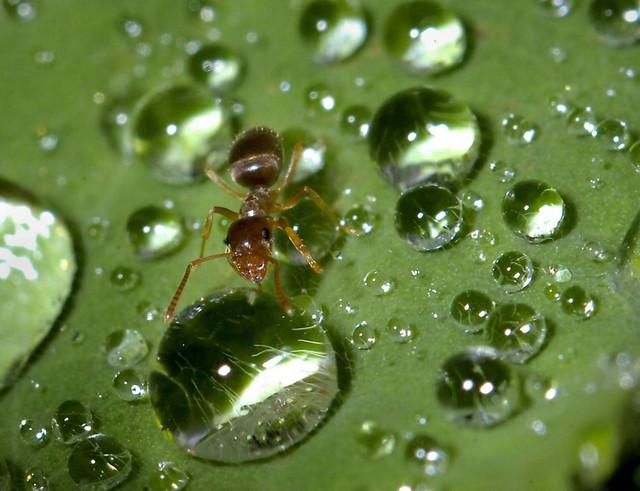 Različitim hemikalijama koje ispušta, mrav ostalima signalizira alarm
