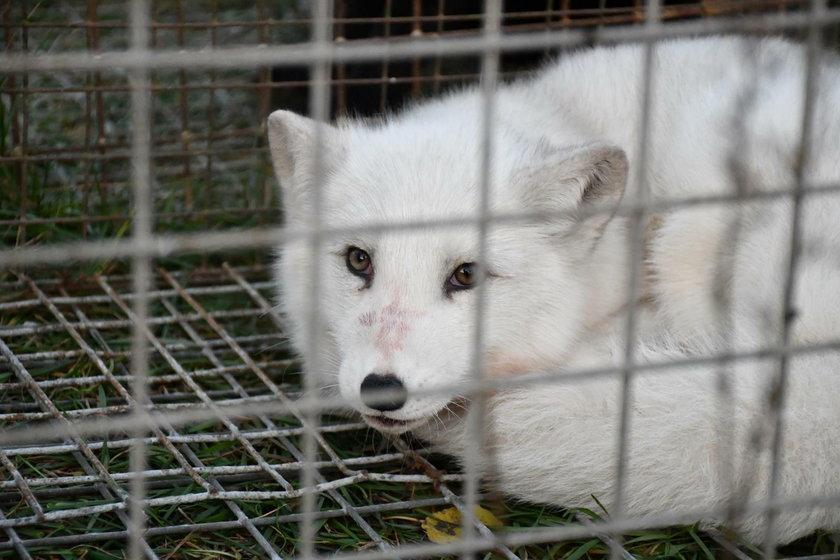 Durzyn: dramatyczna interwencja TOZ i Otwartych Klatek na fermie lisów