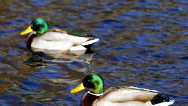 Pijacy jedzą kaczki z miejskiego jeziora
