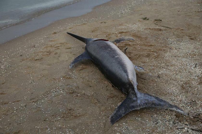 Jantar. Niemal 3-metrowy miecznik odnaleziony na plaży. Co tu robił?