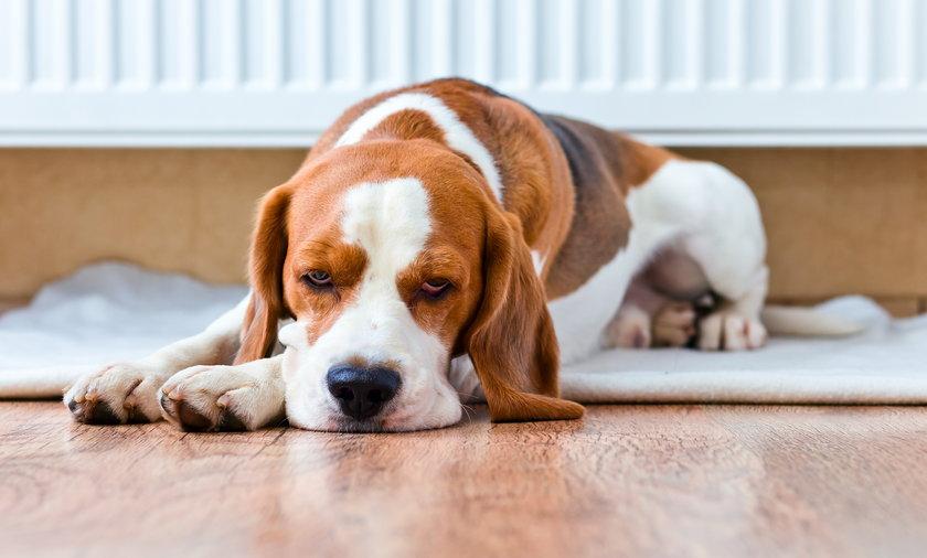Właściciele psów muszą liczyć się z surowszymi karami za niedopilnowanie niebezpiecznych zwierząt. Nowe kary obowiązywać będą już od 10 kwietnia.