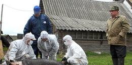 Wieprzowina z Podlasia jest skażona?