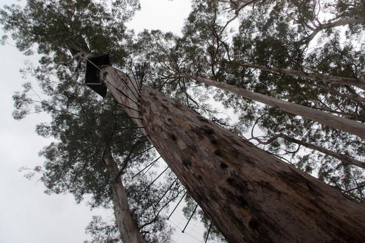 Drvo je staro 200 godina, visoko 75 metara i ima 165 metalnih prečaga