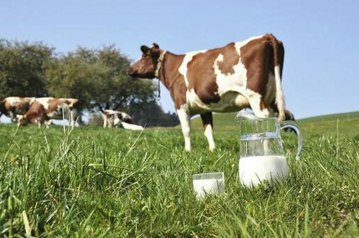 mlijeko krava