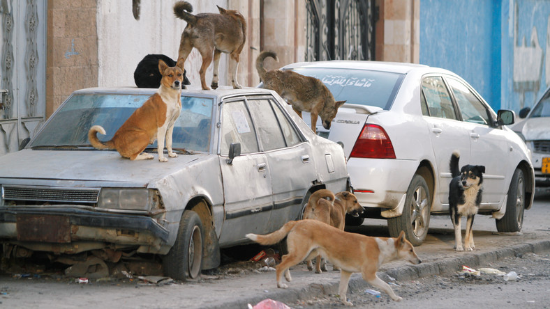 Stray dogs rest atop an abandoned car.