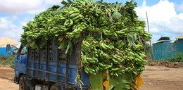 Genetycznie zmodyfikowane banany zaleją świat