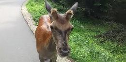 Jeleń zaatakował dziecko w drodze na Morskie Oko