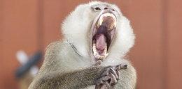 Makabryczna śmierć noworodka. Zabiła go małpa