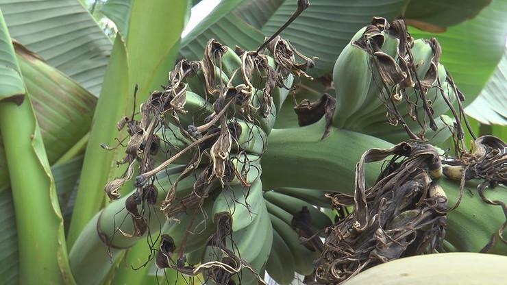 banane čačak01
